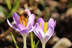 Ein fleissiges Bienchen ist schon früh unterwegs in Kreuzlingen. (Bild: Laura Bley)