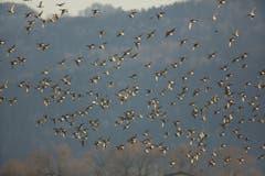 Schwärme mit mehr als 1'000 Pfeifenten können zur Zeit am Bodensee beobachtet werden. (Bild: Hans Aeschlimann)