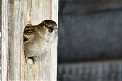 Der Spatz scheint parat für den Frühlingsbeginn und schaut neckisch aus seinem Häuschen.(Bild: Edith Schmid)