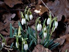 """Sind diese ersten """"Frühlingsboten"""" nicht einfach wunderschön ? Aufgenommen im Naturschutzgebiet Fuchsenried, Udligenswil. (Bild: Margrith Imhof-Röthlin, Udligenswil, 21. Februar 2019)"""