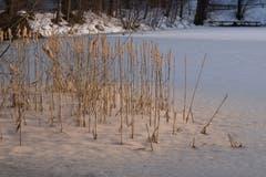 Die Rohrkolben auf Dreilinden sind geplatzt. Die Samen werden nun durch Wind und Wasser verteilt. (Bild: Franz Häusler)