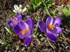 Krokusse: Frühlingsboten gesehen beim St. Karli Quai. (Bild: Josef Müller (21. Februar 2019))