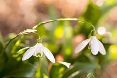 Das kleine Schneeglöcklein blüht. Unermüdlich zeigt es jedes Jahr als erste Blüherin den kommenden Frühling an. (Bild: Priska Ziswiler-Heller (Ettiswil, 21. Februar 2019))