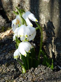 Es ist Frühlingserwachen. Zwischen Spazierweg und Betonmauer spriesst der Frühling hervor. (Bild: Josef Lustenberger, Wolhusen, 25. Februar 2019)