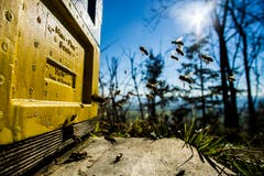 Emsiges Treiben am Bienenkasten. (Bild: Vinzenz Blum, Egolzwil, 25. Februar 2019)