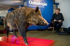 Besonders oft porträtiert wird dieses Wildschwein, das mitten im Raum steht.