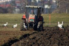 Aufgepasst! Störche auf einem Feld bei Altstätten. (Bild: Hans Aeschlimann)