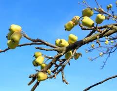 Äpfel Ende Februar! Gesehen in Güttingen. (Bild: Barbara Weber)