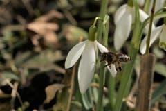 Frühlingsboten in Heiden. (Bild: Fredy Zünd)