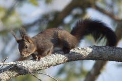 Eichhörnchen unterwegs in Trogen. (Bild: Hans Aeschlimann)