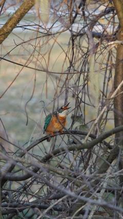 Im Murg-Auen-Park in Frauenfeld sind schöne Eisvögel zu beobachten. (Bild: Geraldine Rohrer)