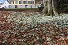 Schneeglöggliteppich auf dem Kirchhofergut in St. Gallen. (Bild: Albin Kisling)