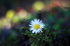 Gänseblümchen - der Frühling kommt! (Bild: Petra Jung, Hämikon, 27. Februar 2019)