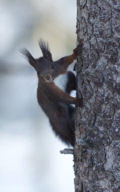 Eichhörnchen am Fichtenstamm in Trogen. (Bild: Hans Aeschlimann)