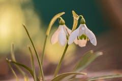Der Frühling erwacht. (Bild: Franziska Hörler)