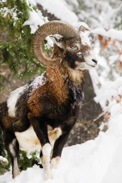Mit dem Abo Pass in den Tierpark Goldau. (Bild: Anita Imfeld-Leu, Goldau, 6. Februar 2019)