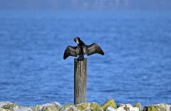 Frühjahrsputz? Der Kormoran trocknet sein Gefieder, gesehen am Seepark Romanshorn. (Bild: Walter Schmidt)