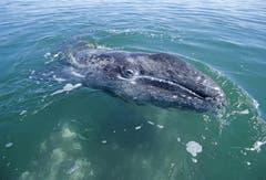 Das weltweite Fangverbot seit 1980 zeigt langsam Wirkung. Der Westpazifische Grauwal konnte auf der Roten Liste  von «Vom Aussterben bedroht» auf «Stark gefährdet» zurückgestuft werden. Gerettet ist er damit noch längst nicht. (Bild: Imago)