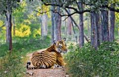 Bengalischer Tiger im Nagerhole-Nationalpark. Ohne Schutz wären diese Tiere bereits ausgerottet worden. (Bild: Manoj N. Narayanan)