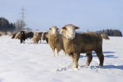 Schafe im Schnee. (Bild: Xaver Husmann (Rothenburg, 9. Februar 2019))