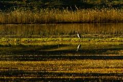 Ein Graureiher geniesst die aufgehende Morgensonne am Aegelsee in Sirnach. (Bild: Matthias Rozinek)