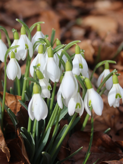 Frühlingsboten in St. Gallen. (Bild: Jacqueline Kisling)