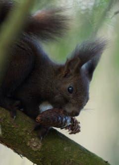 Ein Eichhörnchen nagt am Tannzapfen in Diepoldsau. (Bild: Hans Aeschlimann)