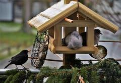 Hilfe unser Vogelhaus ist etwas zu klein. (Bild: Ledi Herzog, Willisau, 11. März 2019)