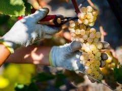 Gesunde Trauben in üppiger Menge: Die Weinernte 2018 war in der Schweiz aussergewöhnlich gut. (Bild: KEYSTONE/VALENTIN FLAURAUD)
