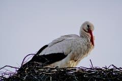 Ein Storch thront auf seinem Nest in Altstätten. (Bild: Toni Sieber)