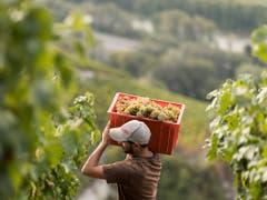 Weinbauern hatten 2018 viel Arbeit, konnten aber auch eine Rekordmenge an Trauben ernten. (Bild: KEYSTONE/ALESSANDRO DELLA VALLE)