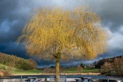Nur kurz zeigt sich die Sonne, um den Baum am Hauptwilerweiher in besonderes Licht zu tauchen. (Bild: Luciano Pau)