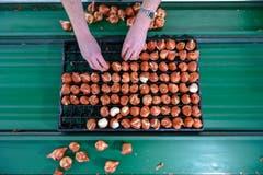 Kurz nach ihrer Ankunft in Züberwangen werden sie in sogenannte Zwiebelplatten gesteckt. Darin bleiben sie bis zur Ernte. (Bild: Raphael Rohner)
