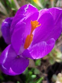 Das Sonnenlicht unterstützt die Schönheit der Krokus (Bild: Reto Schlegel)