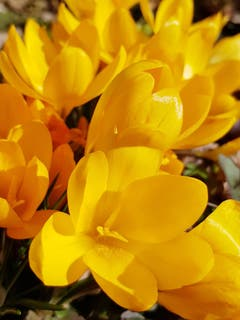 Eine goldene Blütenpracht. (Bild: Reto Schlegel)