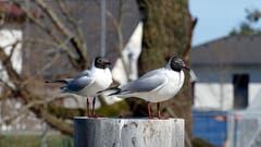 Zwei in Perfektion in Rheineck. (Bild: Hermann Bigler)