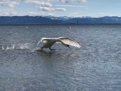 Ein Schwan im Landeanflug (Bild: Renate Wachsmuth)