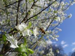 Ein Frühlingsbote.... schon fleissig. (Bild: Martin Gemperle)