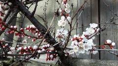Aprikosenblüten öffnen sich an der Frühlingssonne bei Hefenhofen. (Bild: Wendolin Stieger)