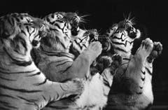 Louis Knie präsentiert eine Raubtiernummer mit Tigern, aufgenommen im März 1977 in Rapperswil. (Bild: Keystone /Str)
