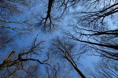 Vom Fotografen in äusserst bequemer Lage fotografiert - Untersicht von Bäumen im Romanshorner Wald. (Bild: Franz Häusler)
