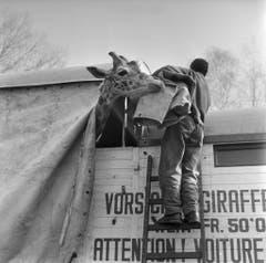 Auch die Giraffe kehren in ihr Winterquartier zurück. (Bild: Keystone /Str)