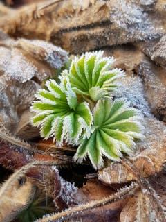 Bodenfrost ziert diese Blättchen in Sitterdorf. (Bild: Reto Schlegel)