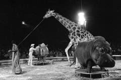 Im Programm des Zirkus Knie treten die vier grössten afrikanischen Säugetiere - eine Giraffe namens Malik, ein Breitmaulnashorn namens Zeila, ein Nilpferd namens Juba und eine afrikanische Elefantkuh namens Malajka - gemeinsam in der Manege auf, aufgenommen während der Saisonpremiere am 15. März 1980 in Rapperswil. (Bild: Keystone /Str)