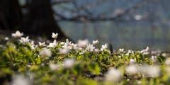 Anemone Nemorosa: Ein Meer von kleinen Buschwindröschen am Ufer des Sees. (Bild: Priska Zsiwiler-Heller, Soppensee, 22. März 2019)
