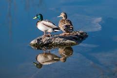Die Gelassenheit der Enten auf dem Saumweiher bei Herisau. (Bild: Luciano Pau)