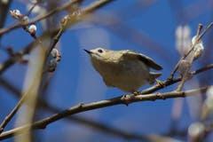 Wintergoldhähnchen in den Weidenkätzchen startet in den Frühling. (Bild: Hans Aeschlimann)