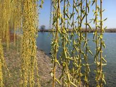 Eine Trauerweide am Bodensee. (Bild: Paul Siegrist)