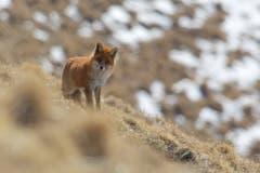 Begegnung mit dem Fuchs im Winterfell auf den Chammhalden. (Bild: Hans Aeschlimann)