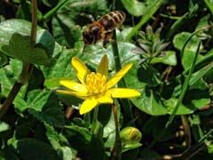 Honigbiene im Anflug. (Bild: Toni Sieber)